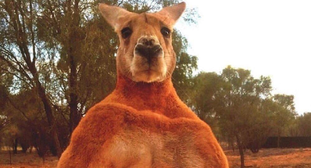 Roger, the unbelievably ripped kangaroo, has died