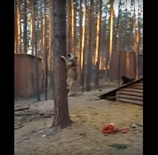 Sports-loving wolf practices parkour moves