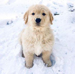 Retriever Plays in Snow