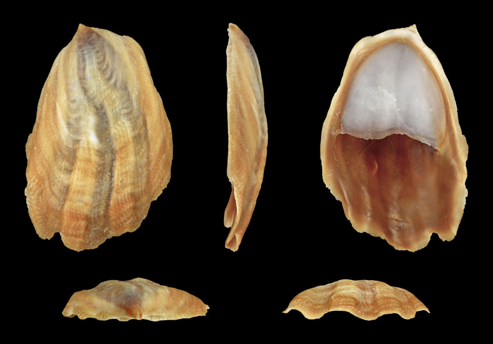 Onyx Slipper Snail; Length 3.2 cm; Originating from Pacific coast of Mexico; Shell of own collection, therefore not geocoded