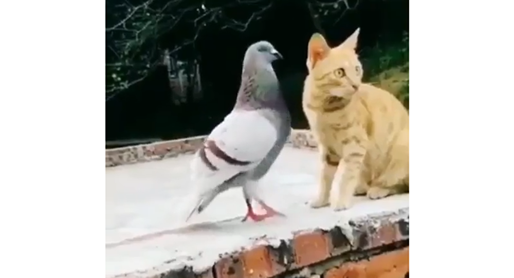 Pigeon and Cat