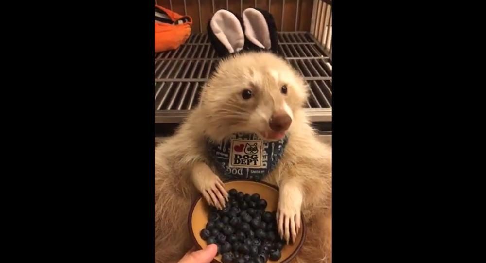 Raccoon eating blueberries