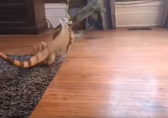 New Year, New Boundaries: Iguana Tussles With Stuffed Animal Over Territory