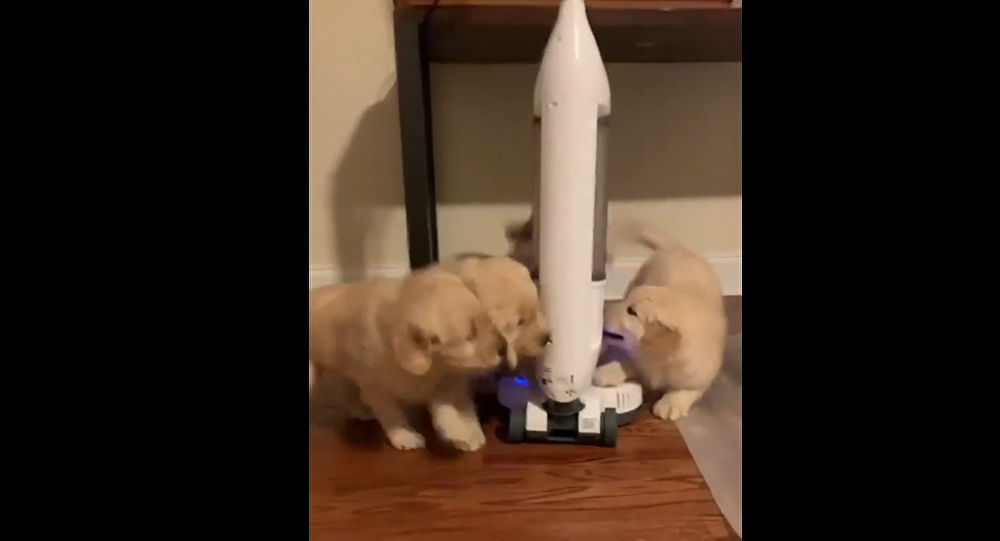 Golden retriever puppies play with a vacuum cleaner.
