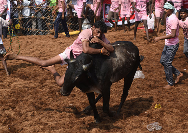 In this photograph taken on January 15, 2018, Indian participants try to control a bull during the annual 'Jallikattu' bulltaming festival in the village of Palamedu on the outskirts of Madurai