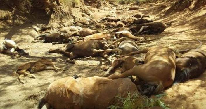 Horses die in Australia due to heat wave