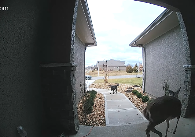 Pooch Left Frozen as Deer Darts By, Rings Doorbell and Dashes