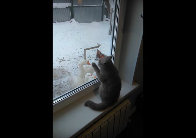 Cute Cat Plays with Geese Through Window