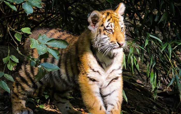Two-Year-Old Israeli Toddler Mauled by Tiger at Thailand Zoo