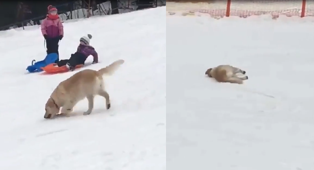 No Sled Necessary: Golden Retriever Slides Down Snowy Hillside