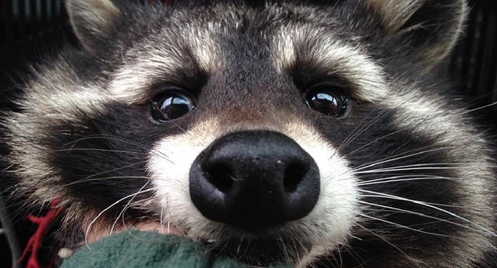 GUARDIANS OF THE GALAXY's Real ROCKET RACCOON Passes Away