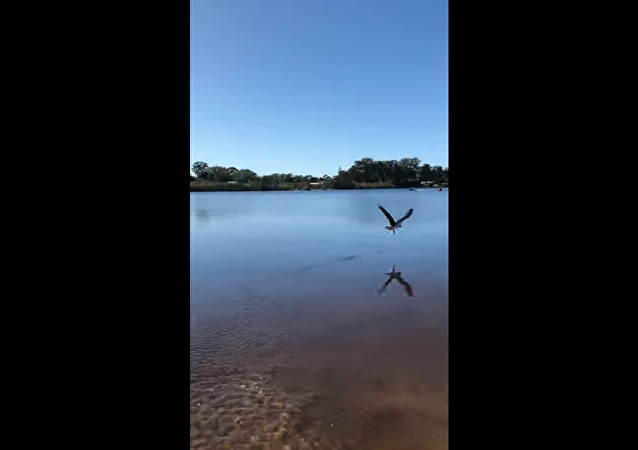 Waste Not, Want Not: Australian Eagle Scoops Up Released Fish