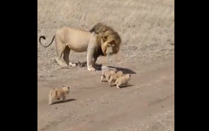 Lion and lion cubs
