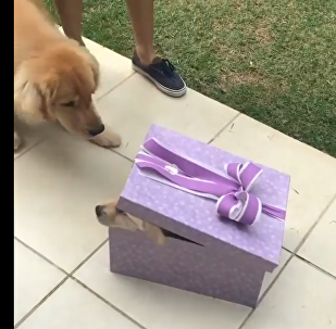 Golden Retriever and someone in a box