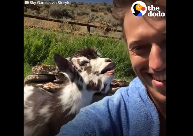 Kids Say the Darndest Things! Young Goat Converses With Owner
