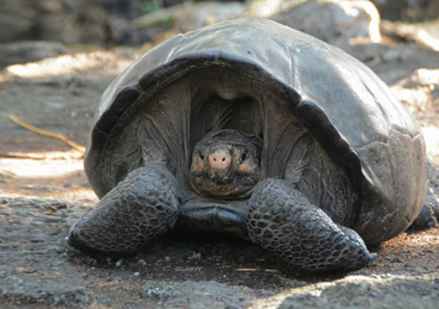 Fernandina Giant Tortoise, thought to have been extinct for ~113 years