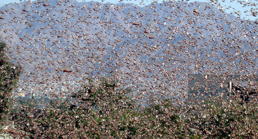 A swarm of locust is seen in the southern Israeli city of Eilat, in the Red Sea, Sunday Nov. 21, 2004.