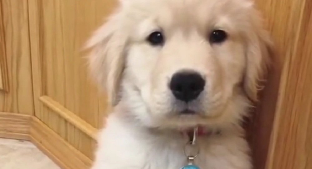 Golden Retriever Puppy Struck By A Case Of The Hiccups Sputnik