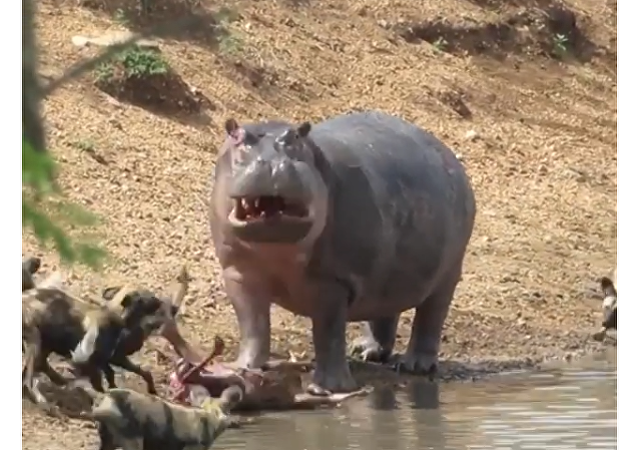 Hippo and Hyenas
