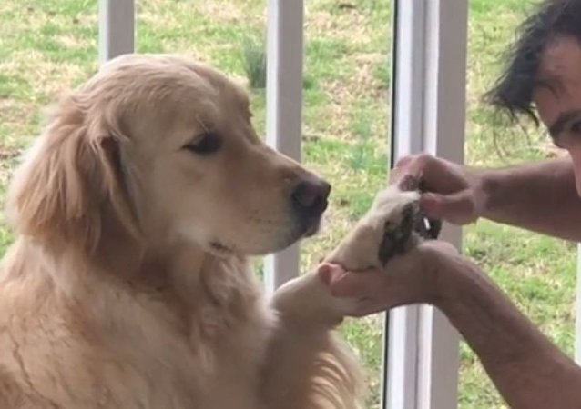 Golden Retriever Gets Paw-dicure in Miami
