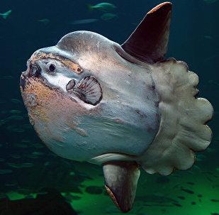 An ocean sunfish in Nordsøen Oceanarium, Hirtshals, Denmark