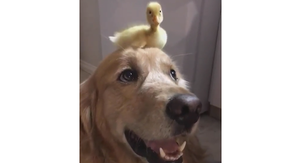 Retriever and Duck