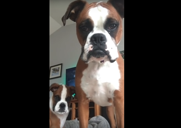Skeptical Boxer 'Saves' Pup From Tablet