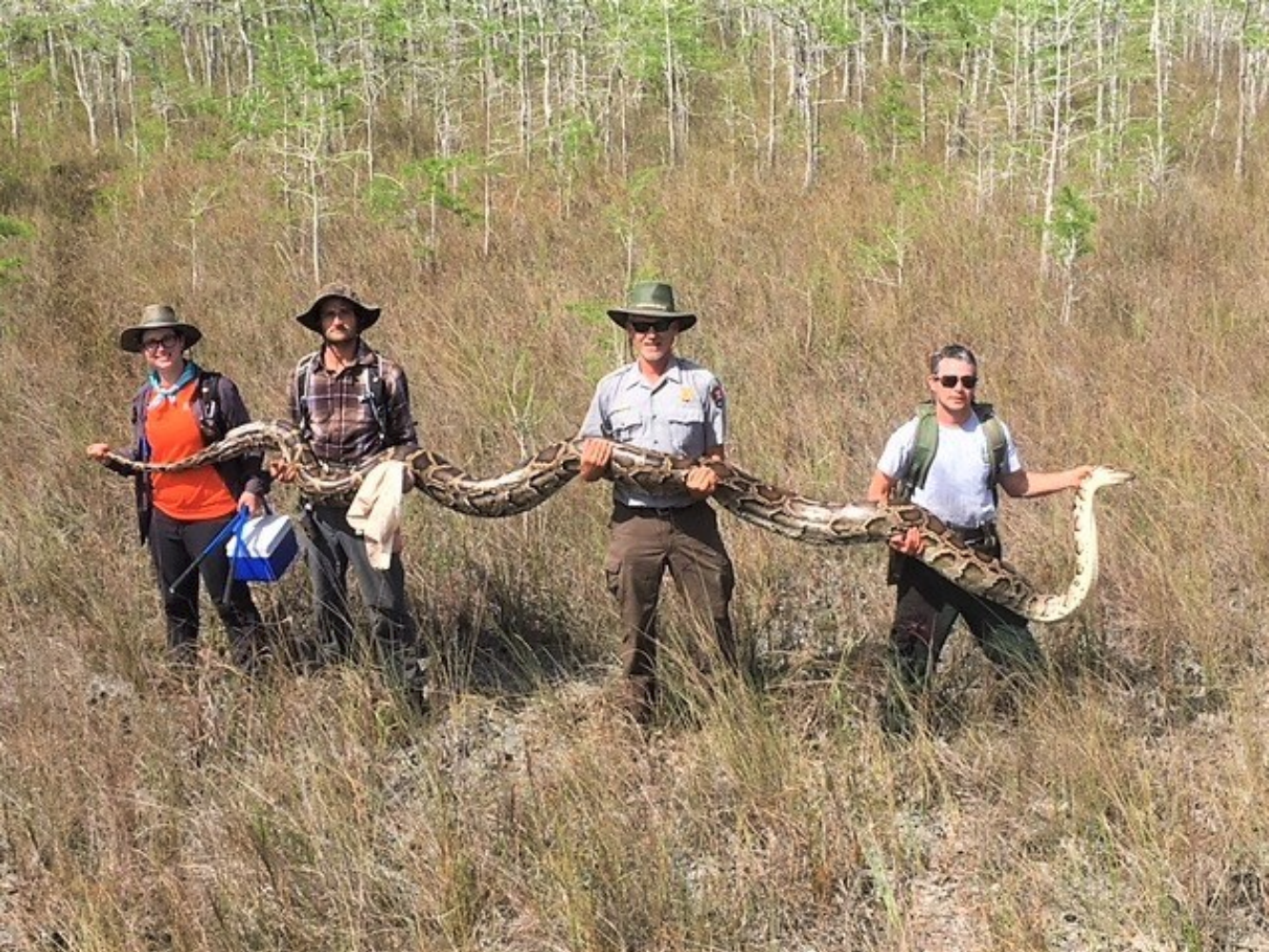 Officials from Florida's Big Cypress National Preserve hold a massive 17-Foot python
