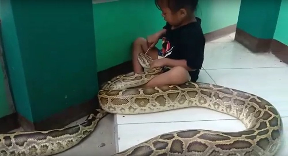 A girl takes care of a sprue giant python