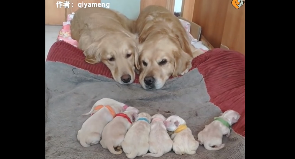 Proud Parents: Golden Retrievers Fight Sleep While Watching