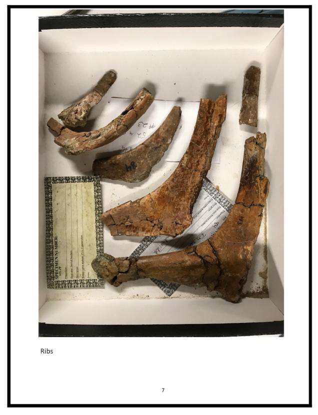 Baby T-rex ribs