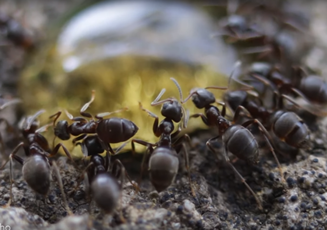 Macro Magnificence: Ant Colony Devours Honey Droplet