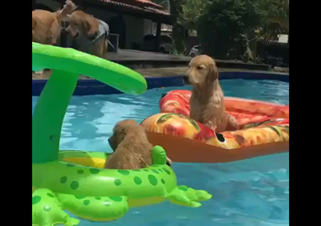 Golden Retrievers Swimming