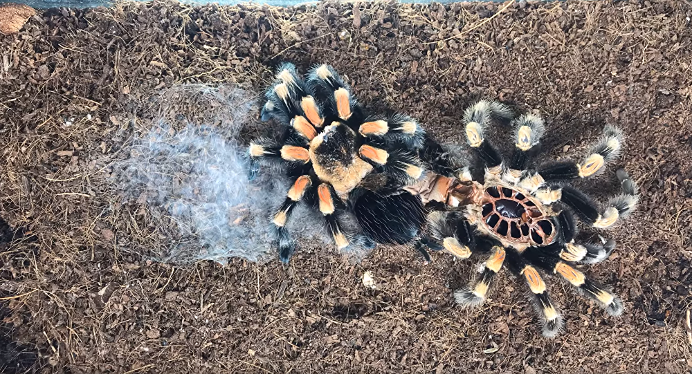 Timelapse of Molting Tarantula Will Make Your Skin Crawl