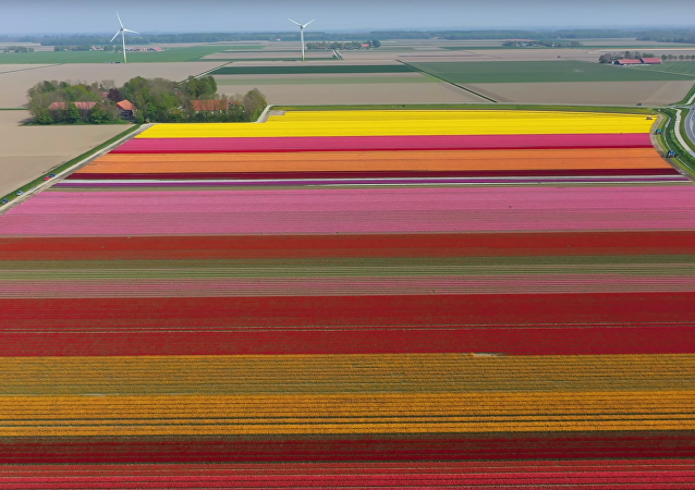 Drone Captures Vivid 4K Footage of Holland Tulips in Bloom