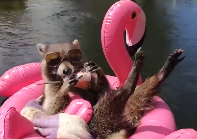 Laid-Back Raccoon Beats the Heat, Laps Up Cool Treat