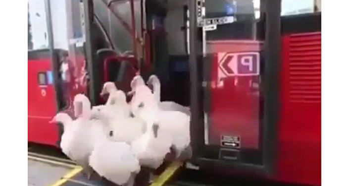 Geese on Bus