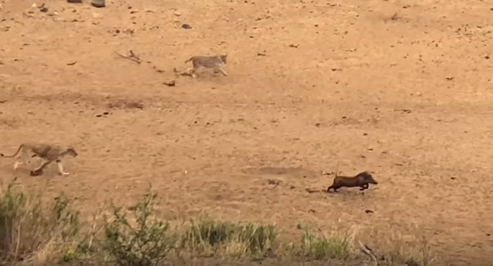 Warthog Doesn't Realize the 7 Lions Behind It!