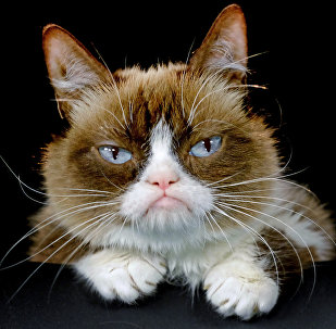 "This Dec. 1, 2015 file photo shows Grumpy Cat posing for a photo in Los Angeles. Grumpy Cat is joining the cast of the Broadway musical ""Cats"" on Friday, Sept. 30, 2016"