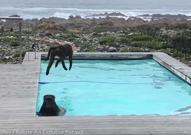 Free Retreat: Baboons Take a Dip in Residential Pool
