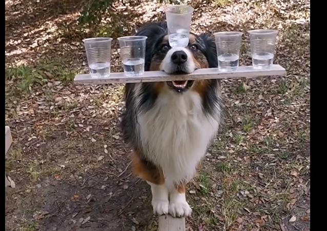 Good Boy Balances Five Cups of Water, Walks Beam