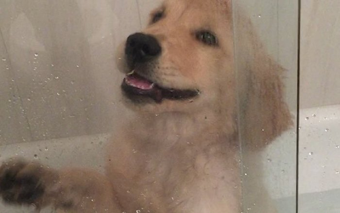 Let Me Out, Hooman! Cute Golden Retriever Doesn't Like Shower