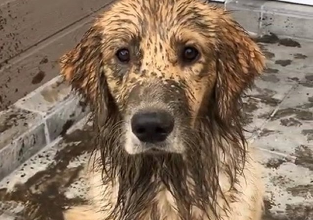 dirty retriever