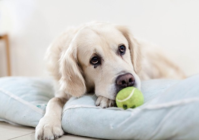 Sad golden retriever with tennis ball