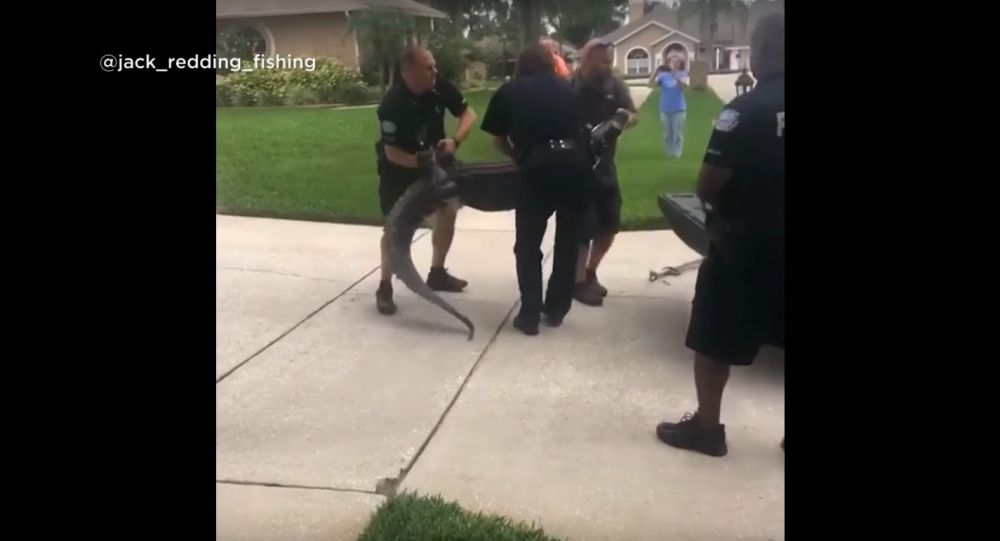 Gator knocks trapper out cold in Florida
