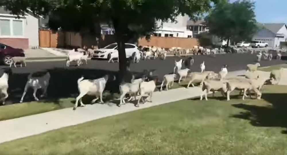 Counting Sheep (& Goats): Dozens of Farm Animals Run Free on US Street