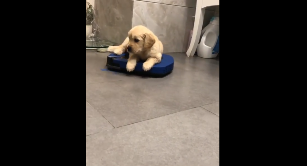 Golden Retriever on a vacuum cleaner robot