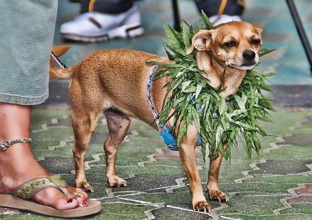 Marijuana Chihuahua Dog