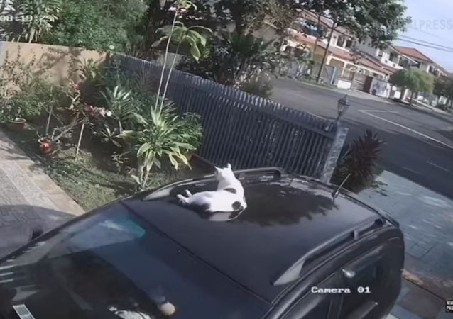 Malaysian Kitty Goes on Joyride Atop Owner's Car