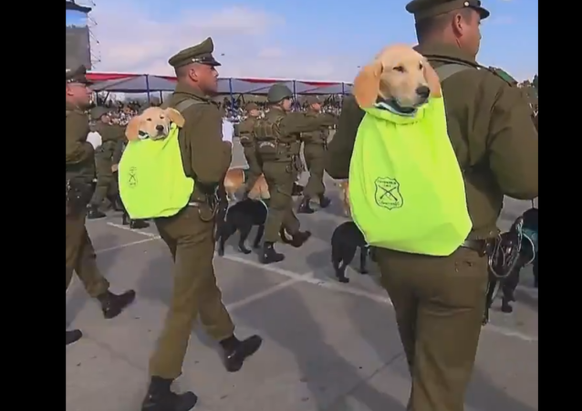 Golden Retriever Puppies at a military parade in Santiago, Chile